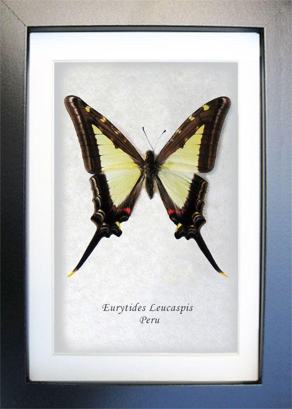 Butterfly Eurytides leucaspis in frame