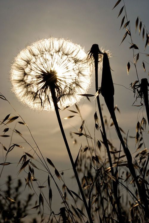 An image collection on imgfave | LIGHTFALL | Pinterest | Dandelions ...