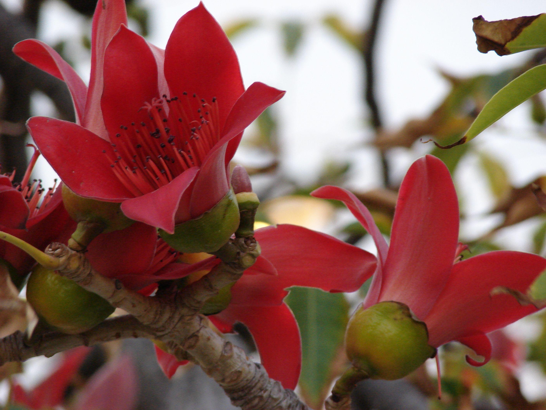 cotton tree, kapok tree, red silk cotton tree, bombax, semal