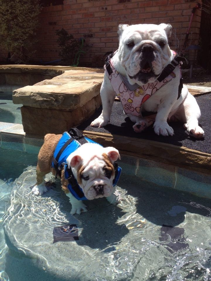 Bulldogs in life jackets, omg the cuteness Bulldog