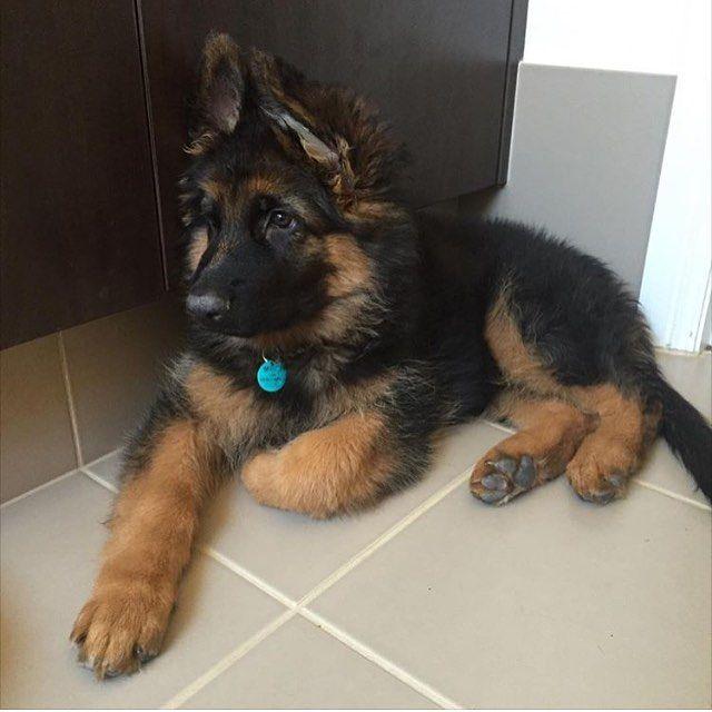 German Shepherd Dog Dog Breed Information | for kalin