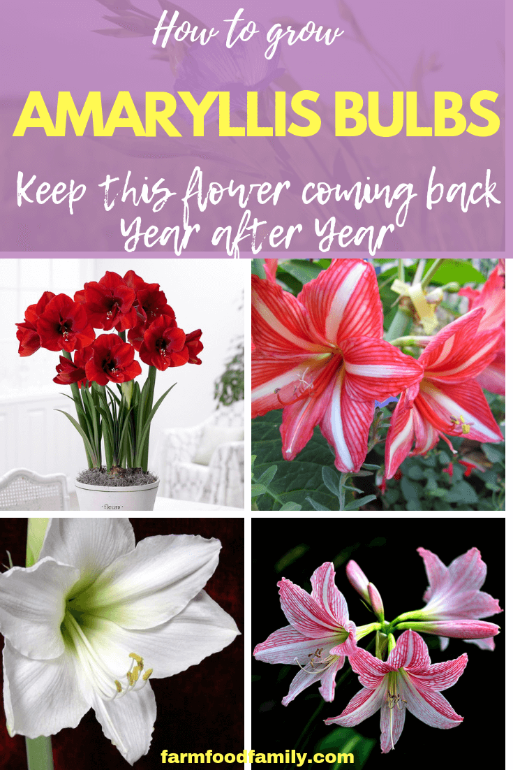 How To Grow Amaryllis Bulbs Keep This Flower Coming Back Year After Year Amaryllis Bulbs Amaryllis Amaryllis Care