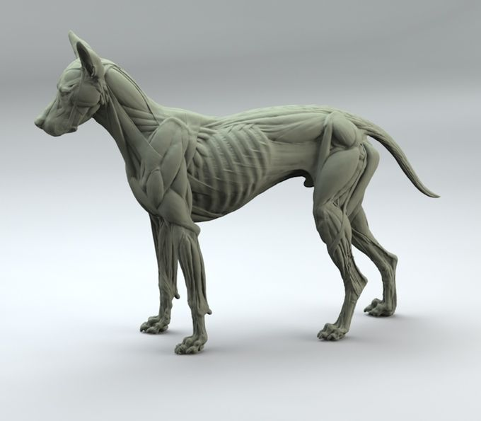 canine anatomy sculpture ecorchet by S.D. Lord  biceps femoris, trapezius and latissimus dorsi removed