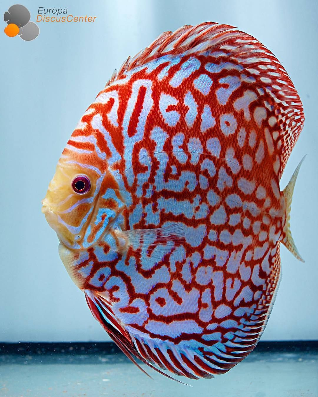 Checkerboard Red Map Discus Male ❤ ⠀ #discus #diskus ...