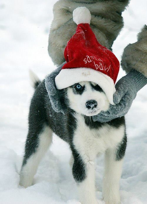 Merry Christmas Husky Christmas Dog Siberian Husky Husky Puppy
