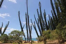 Bildergebnis für araucaria columnaris