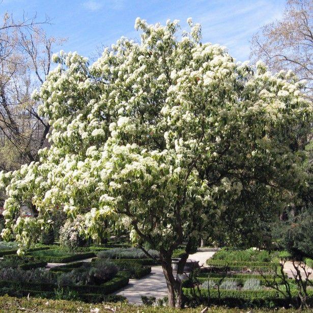 photinia serratifolia photinia de chine jardin pinterest. Black Bedroom Furniture Sets. Home Design Ideas