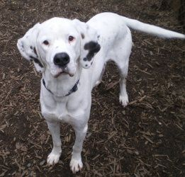 Adopt Alexander On Great Dane Dogs Dog Throw Dogs
