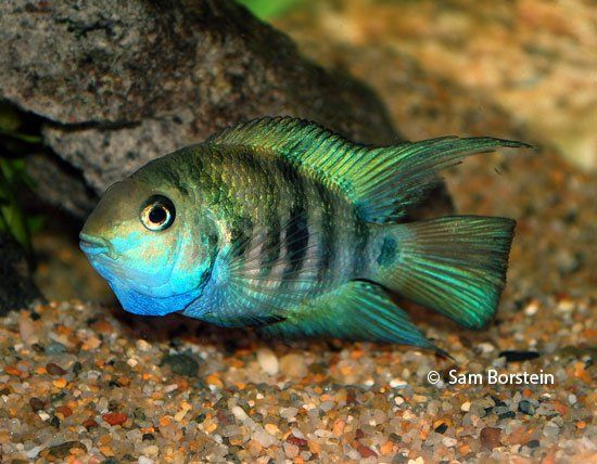 One Of My Favorite Fish Amatitlania Sp Honduran Red Point Rio Danli Cichlids Cichlid Fish Fish
