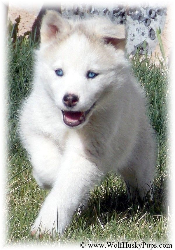 Www Wolfhuskypups Com Puppies Dogs Animals