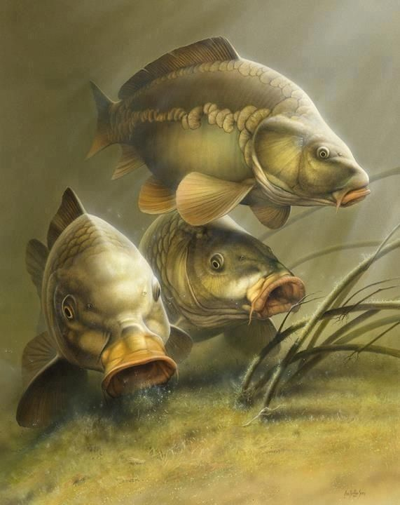 571 720 c ch p for Carp fish pictures