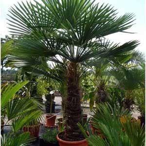 photo de palmier chanvre trachycarpus fortunei plante pour pot xxl pinterest jardins pot. Black Bedroom Furniture Sets. Home Design Ideas