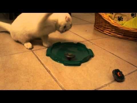 Kasey Cheshire Smile of De Divinus * 3º dia na nossa família - http://dailyfunnypets.com/videos/cats/kasey-cheshire-smile-of-de-divinus-3o-dia-na-nossa-familia/ - Super integrada, Kasey já tomou conta da casa, dos brinquedos (da família felina e humana ) e dos nossos corações ! - (animal), (film), breed, cat, cats, character), cute, de, divinus, fold, funny, kitten, kittens, kitty, meow, pets, playing, scottish