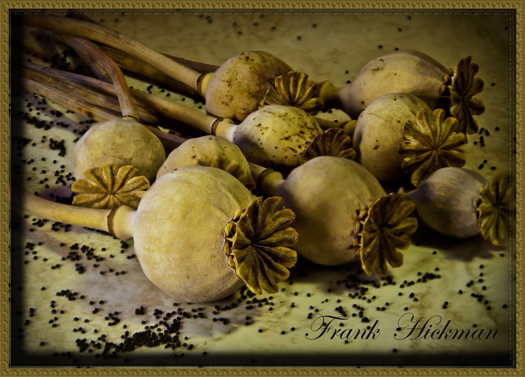 Poppy seeds  ready  2014 / Photo: Frank Hickman on Flickr