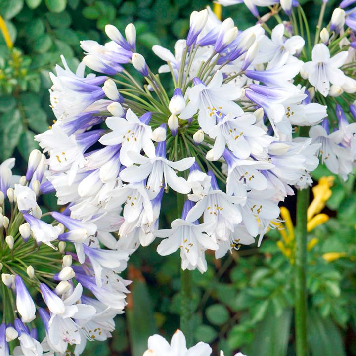 Plants Can Stay Outside All Year With No Protection With Images Agapanthus Plant Agapanthus Perennial Plants
