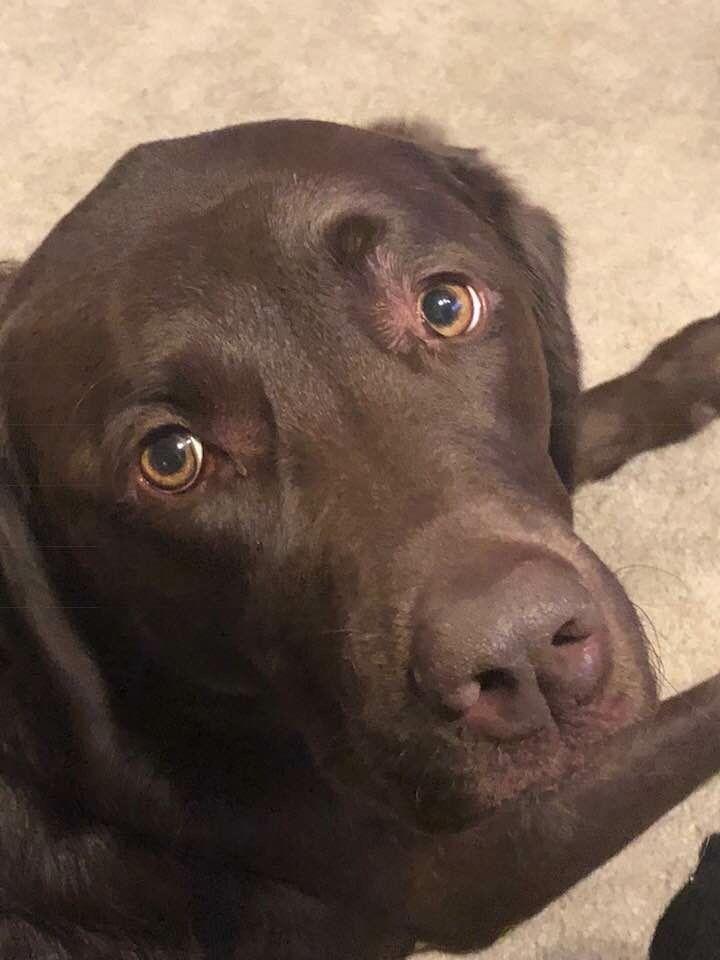 Pin By Alisha Hundley On Dogs Lab Puppies Labrador Dog Dog Love