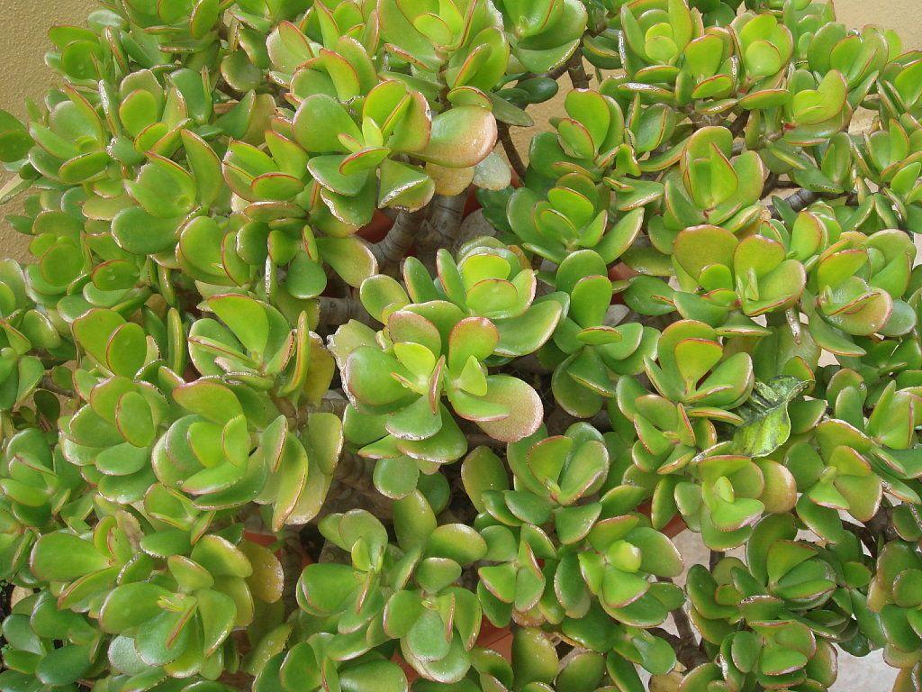 El jade es la suculenta que falta en tu colecci n jade - Potus planta de mala suerte ...