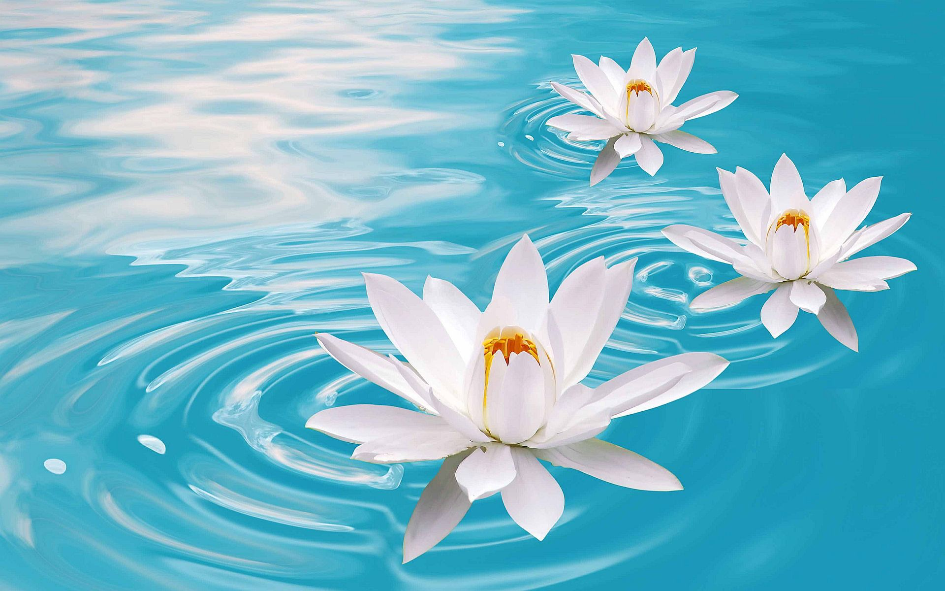 Lotus Flower Wallpaper Free Download Dromgcip Lotus
