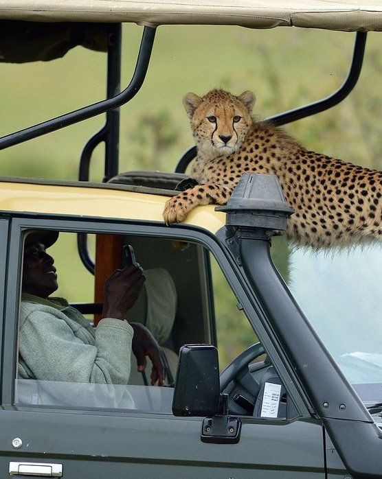 This Cheetah Jumped Into A Jeep On Safari Cute Animal Pictures