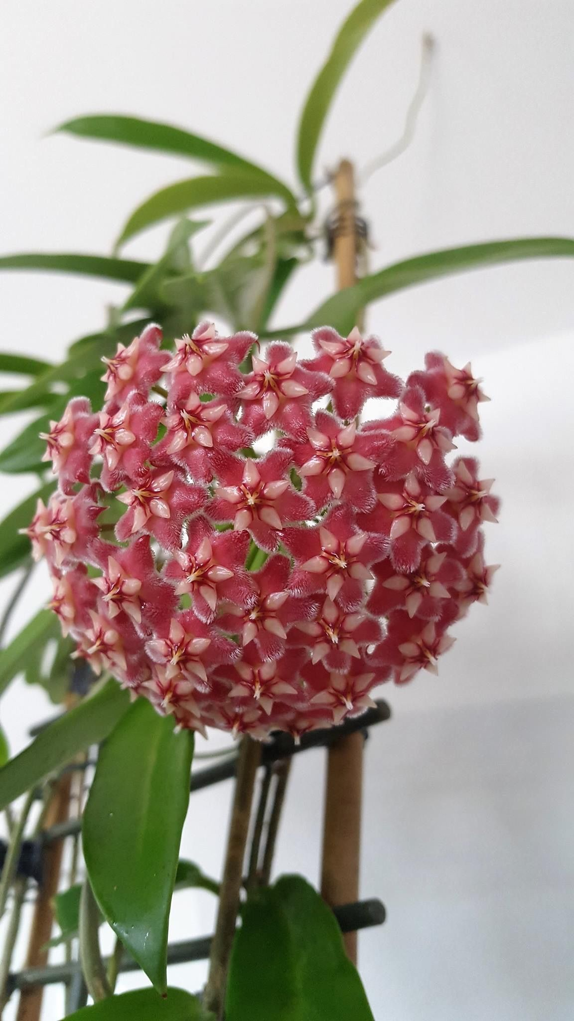 Hoya Pubicalyx Pink Dragon Flowers Again Last Night A Strong Scent