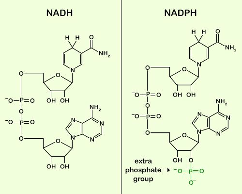 An overview of the difference between nadh and nadph pinterest molecular structure ccuart Images