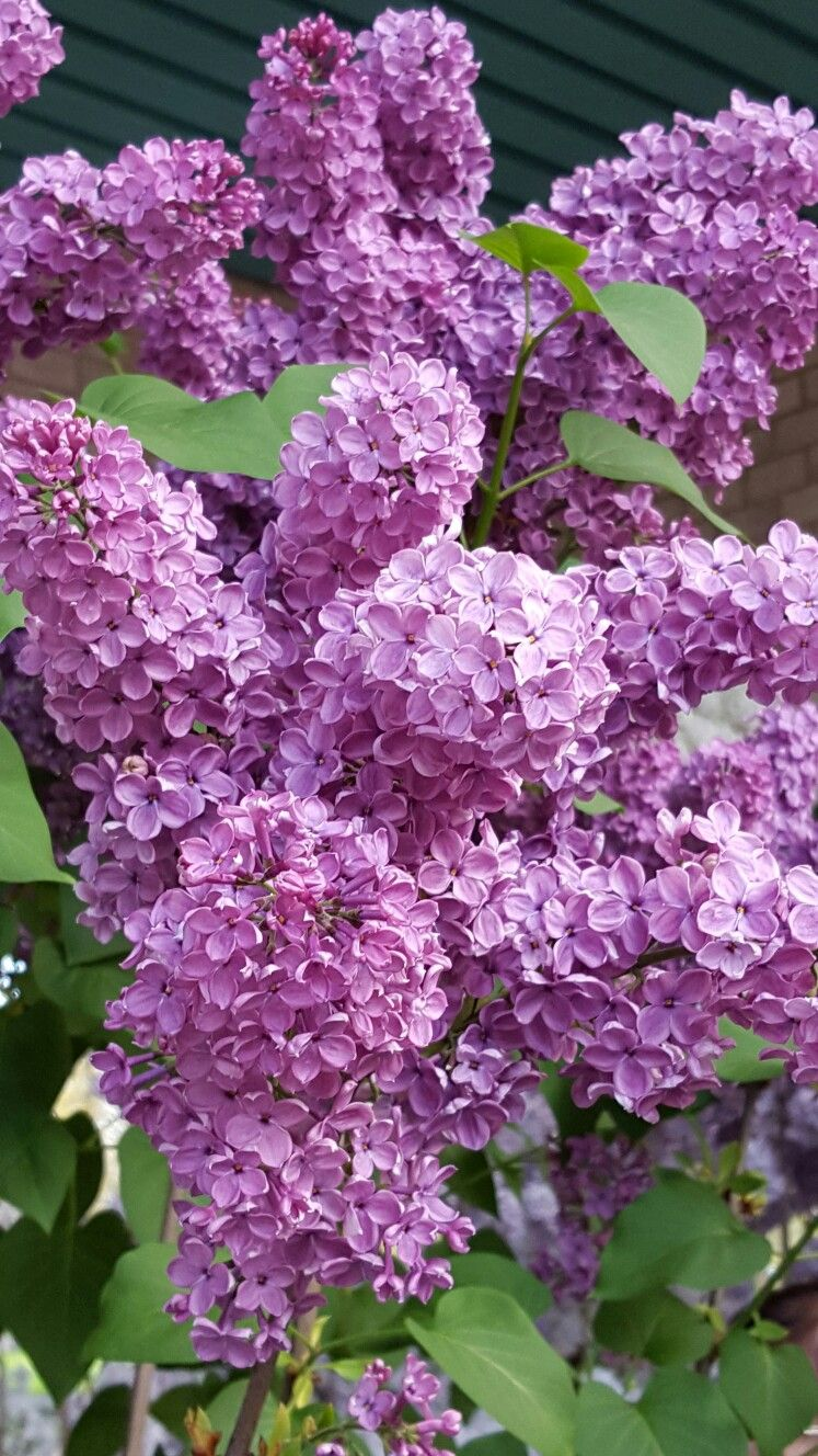 I Grew Up With Lilacs All Around My Back Yard In The Evening They Smelled So Good Beautiful Flowers Lilac Flowers Flowers
