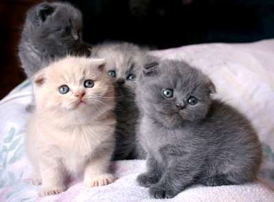 10 Munchkins That Are So Cute You Might Get Tears Scottish Fold Kittens Cute Animals Munchkin Cat Scottish Fold