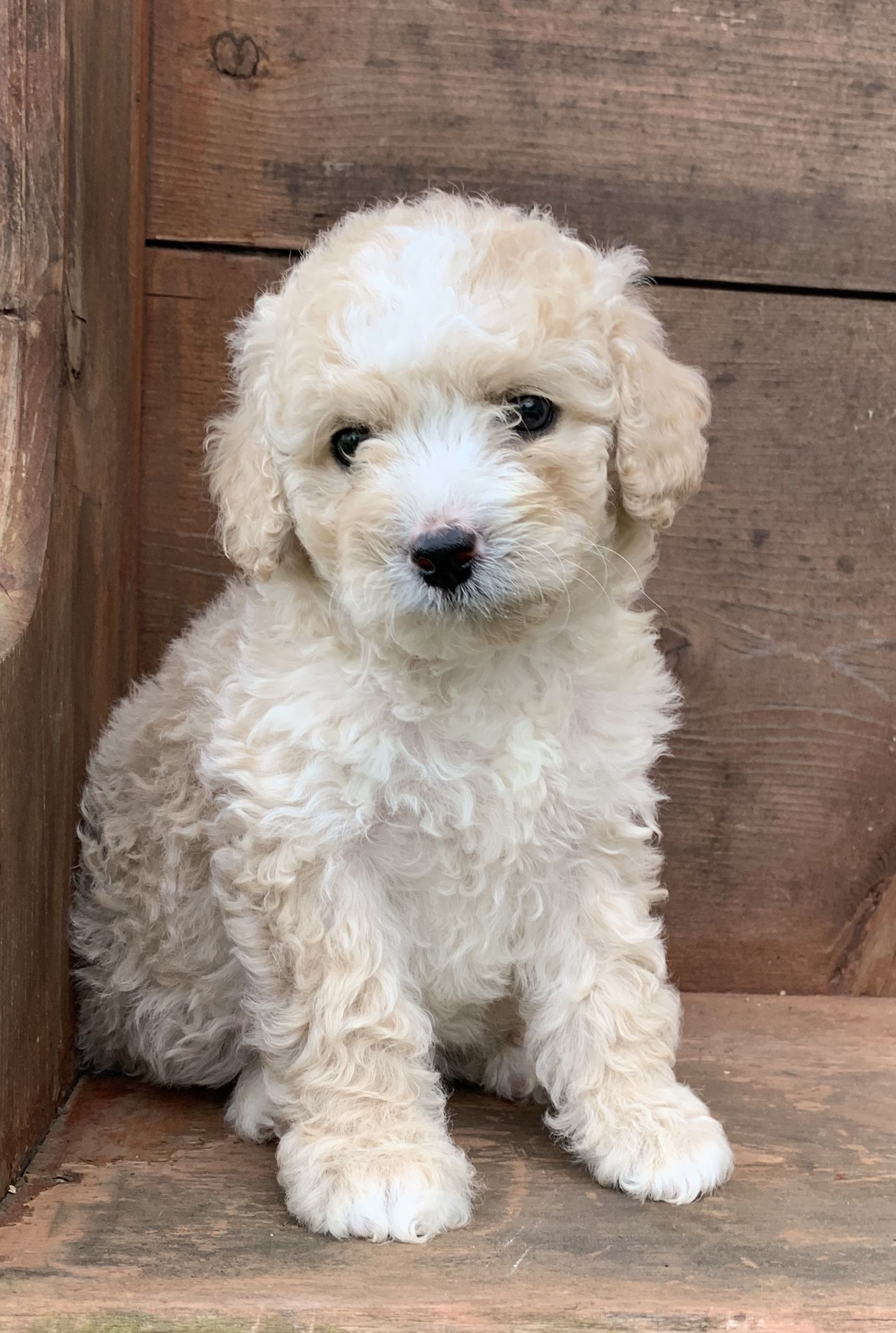 Puppies for Sale Puppies, Cavapoo puppies, Cute dogs
