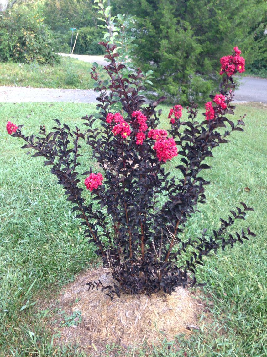 Black Diamond Crepe Myrtle | Gardening | Pinterest | Gardens, Plants ...