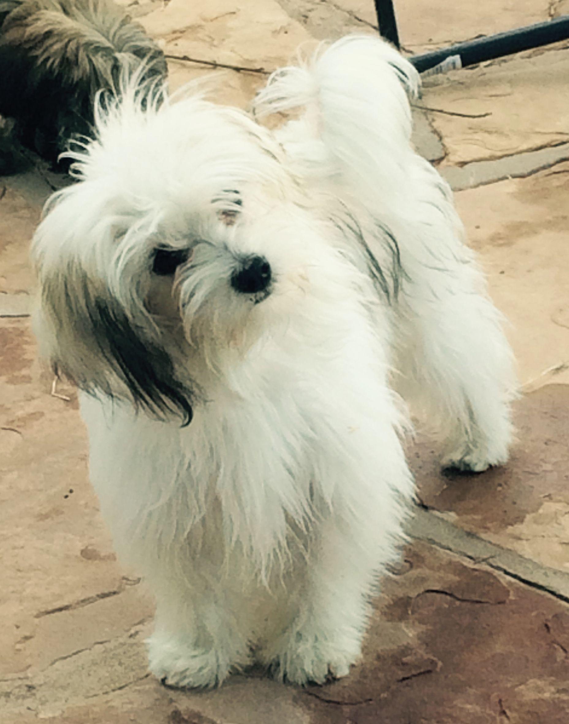 Havanese Puppy Training Tricks | Dog Training