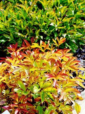 6 Perennials With Beautiful Fall Foliage Plants Pinterest Garden And