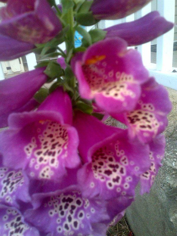 Foxglove up close and beautiful.