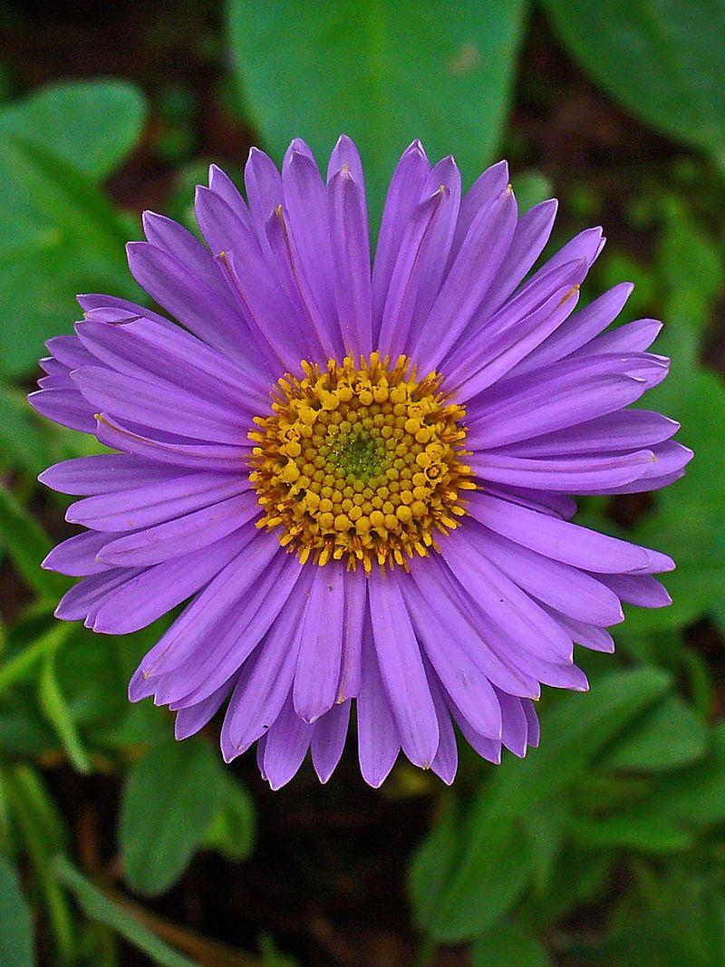Purple Aster Flower Aster Flower Tattoos Birth Flowers