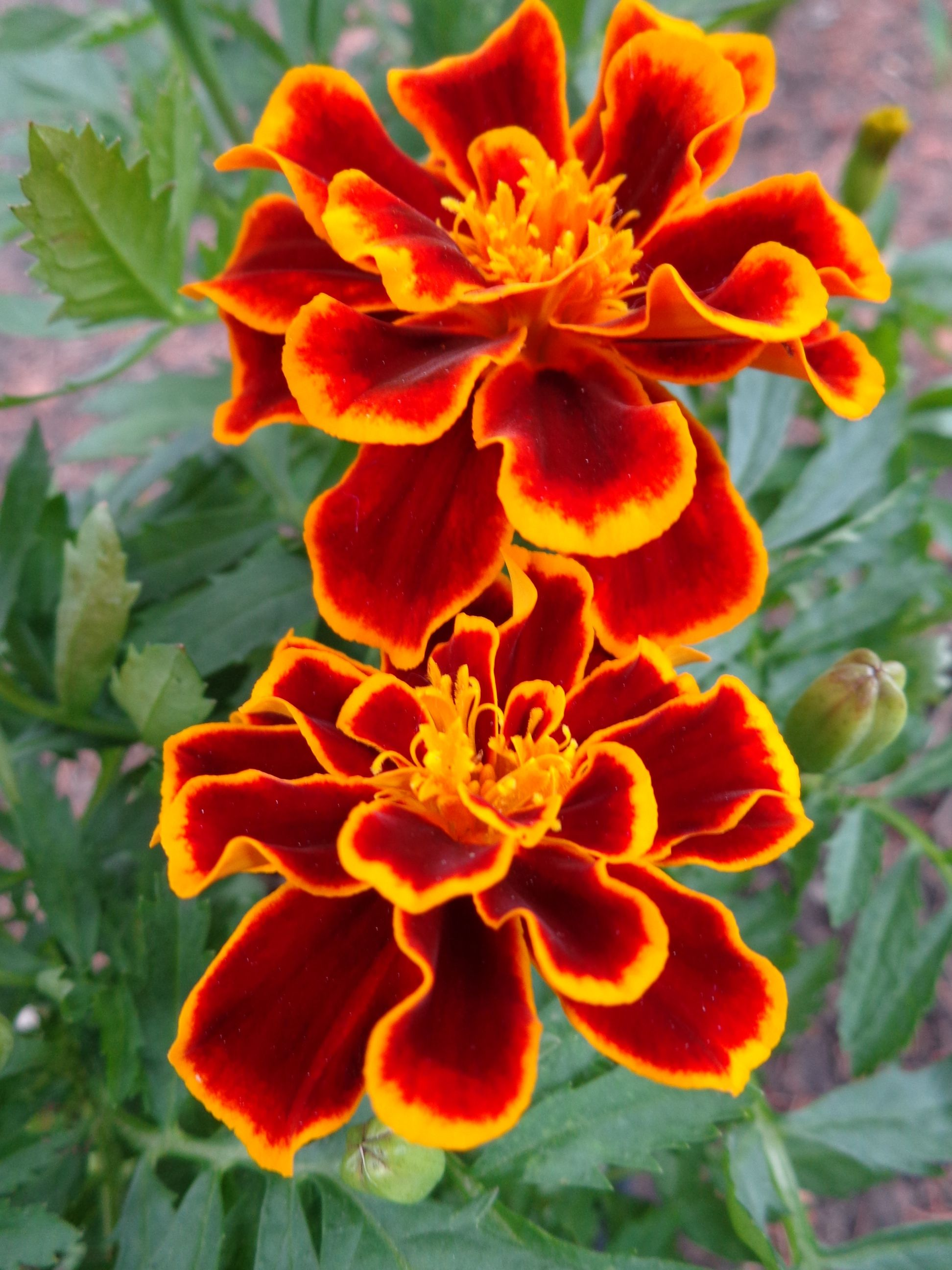 I like the twotoned color in this Marigold flower
