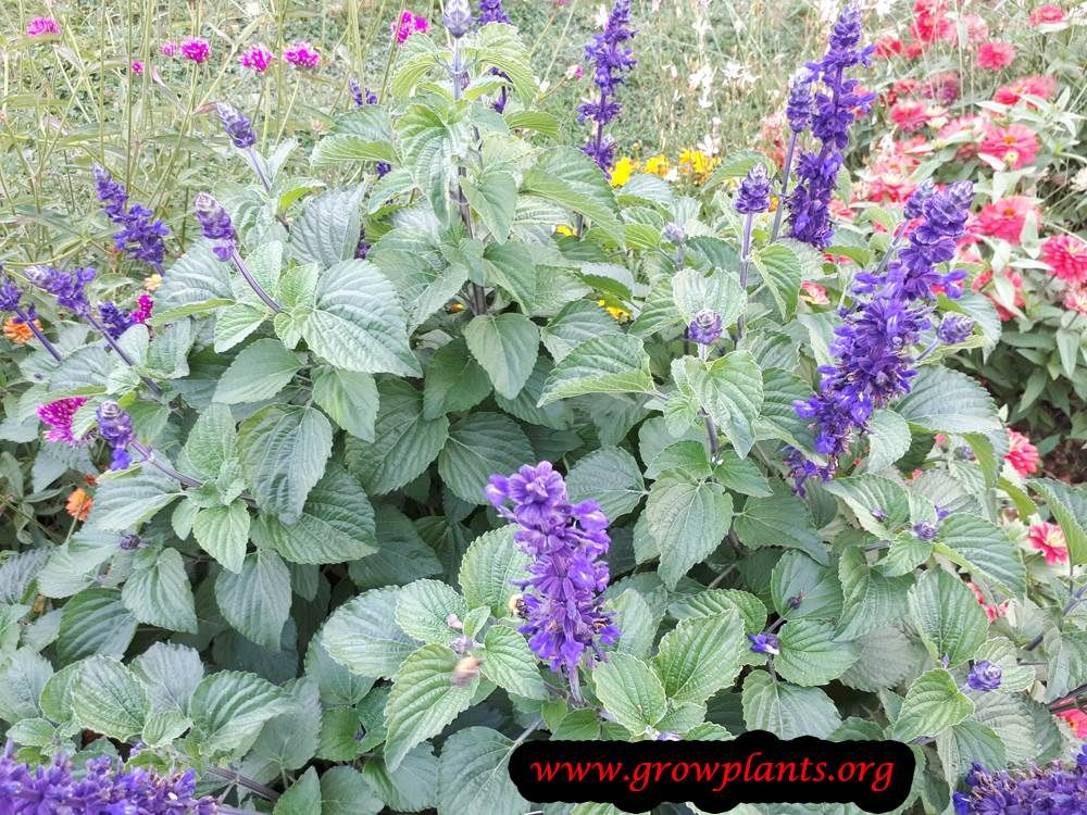 Big Blue Salvia How To Grow Care With Images Salvia