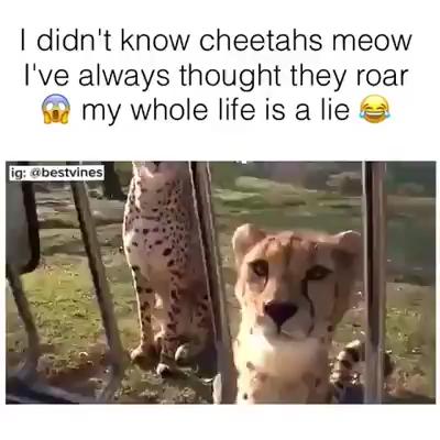 Yup, Cheetahs Meow