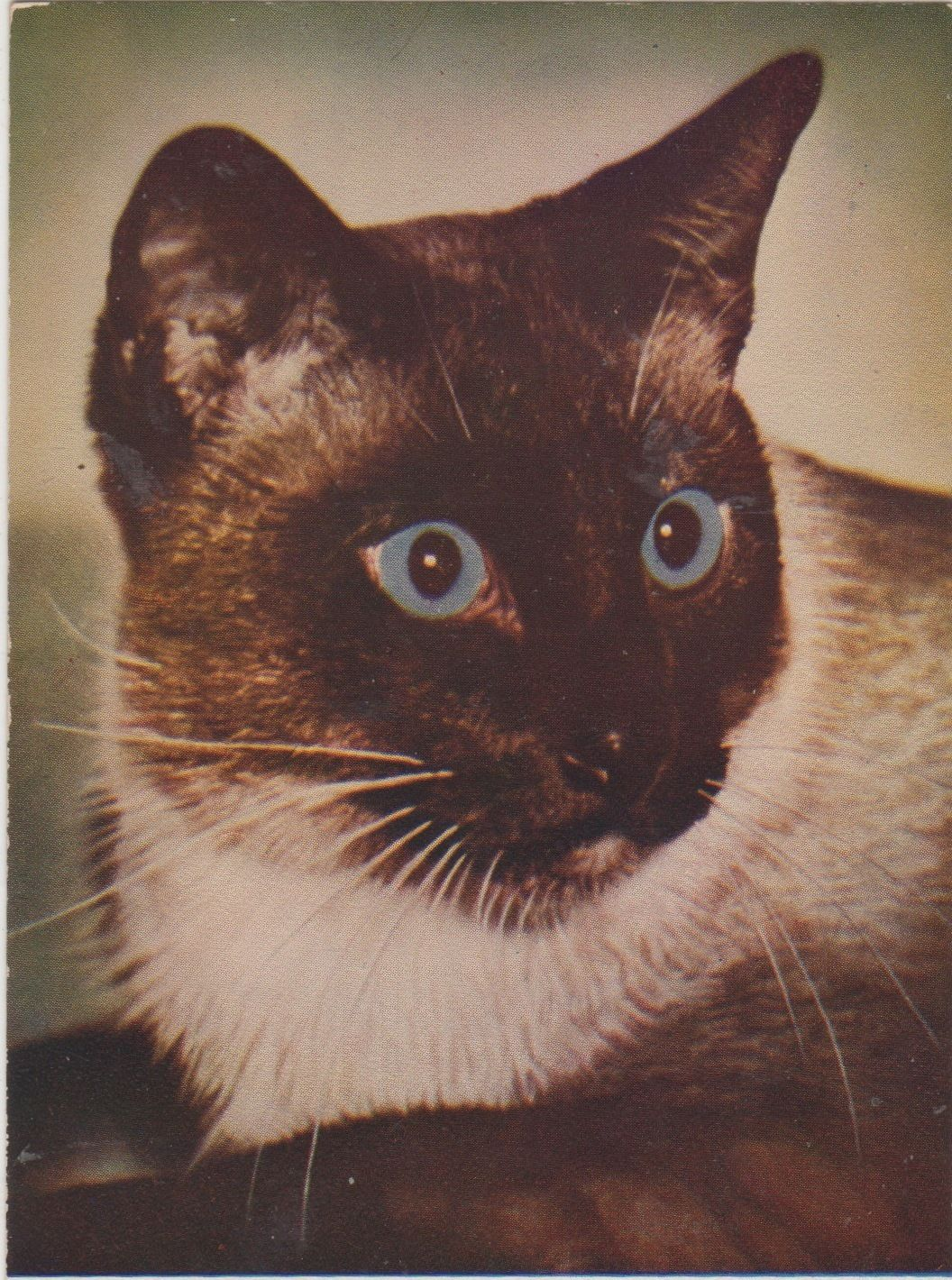 Cat Post Card of A Beautiful Siamese Cat with Blue Eyes