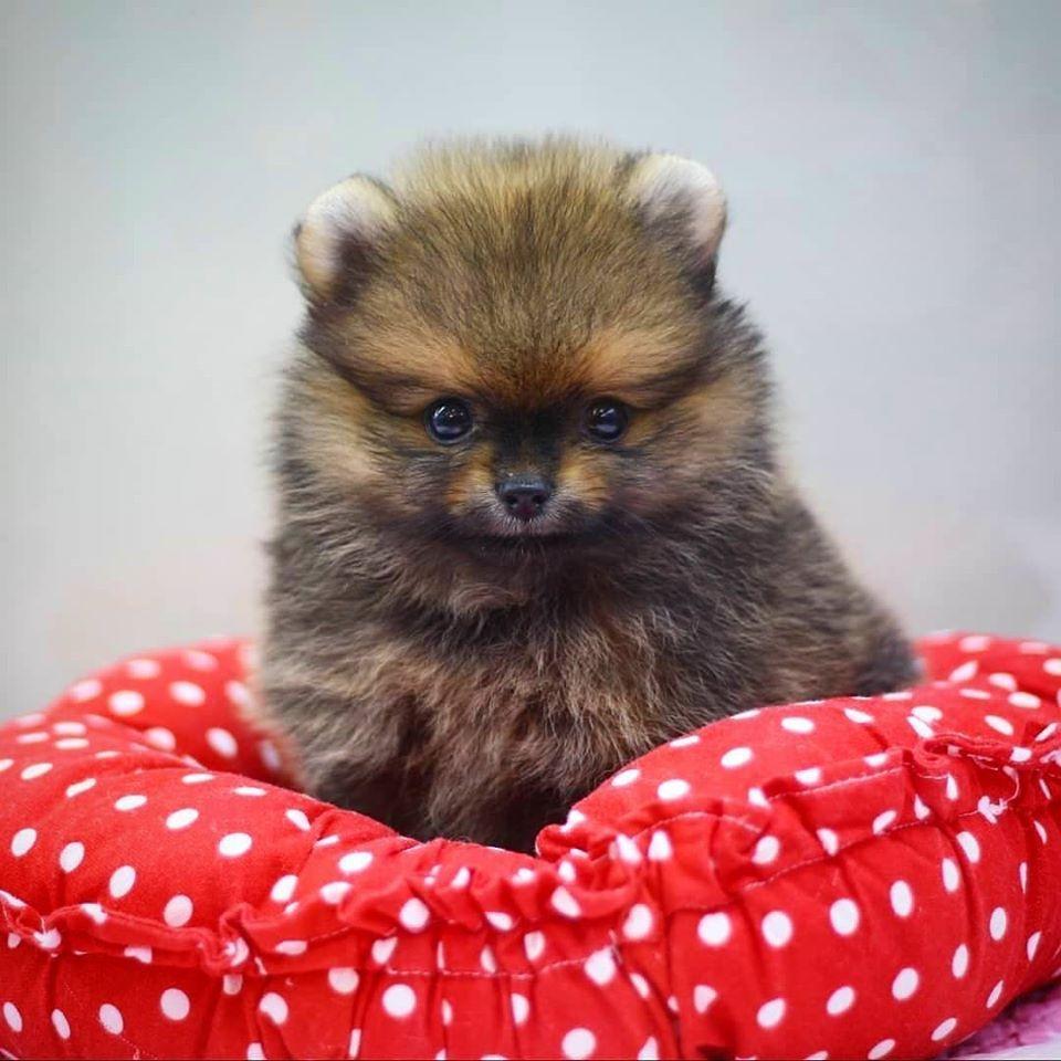 pomeranian puppies for sale 500 in 2020 Pomeranian