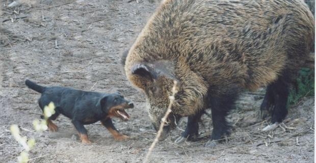 GERMAN HUNTING TERRIER/JAGDTERRIER | Puppy love | Pig
