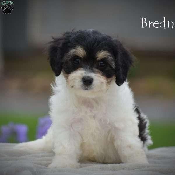 Brenda Cavachon Puppy For Sale In Pennsylvania Adorable Adorable Brenda Puppies Cutest Adorable Brenda Ca Cavachon Cavachon Puppies Puppies