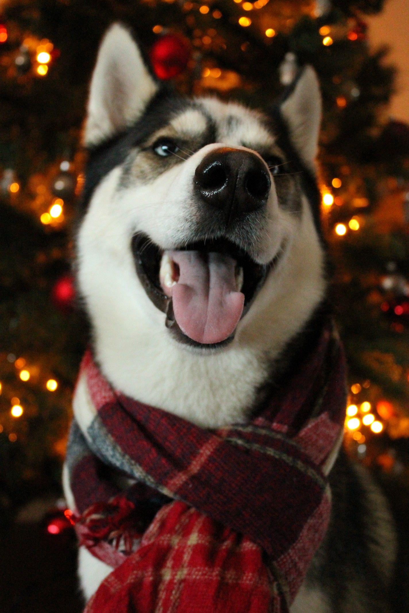 Christmas Dog Christmas Dog Outfits Christmas Dog Siberian Husky Puppies