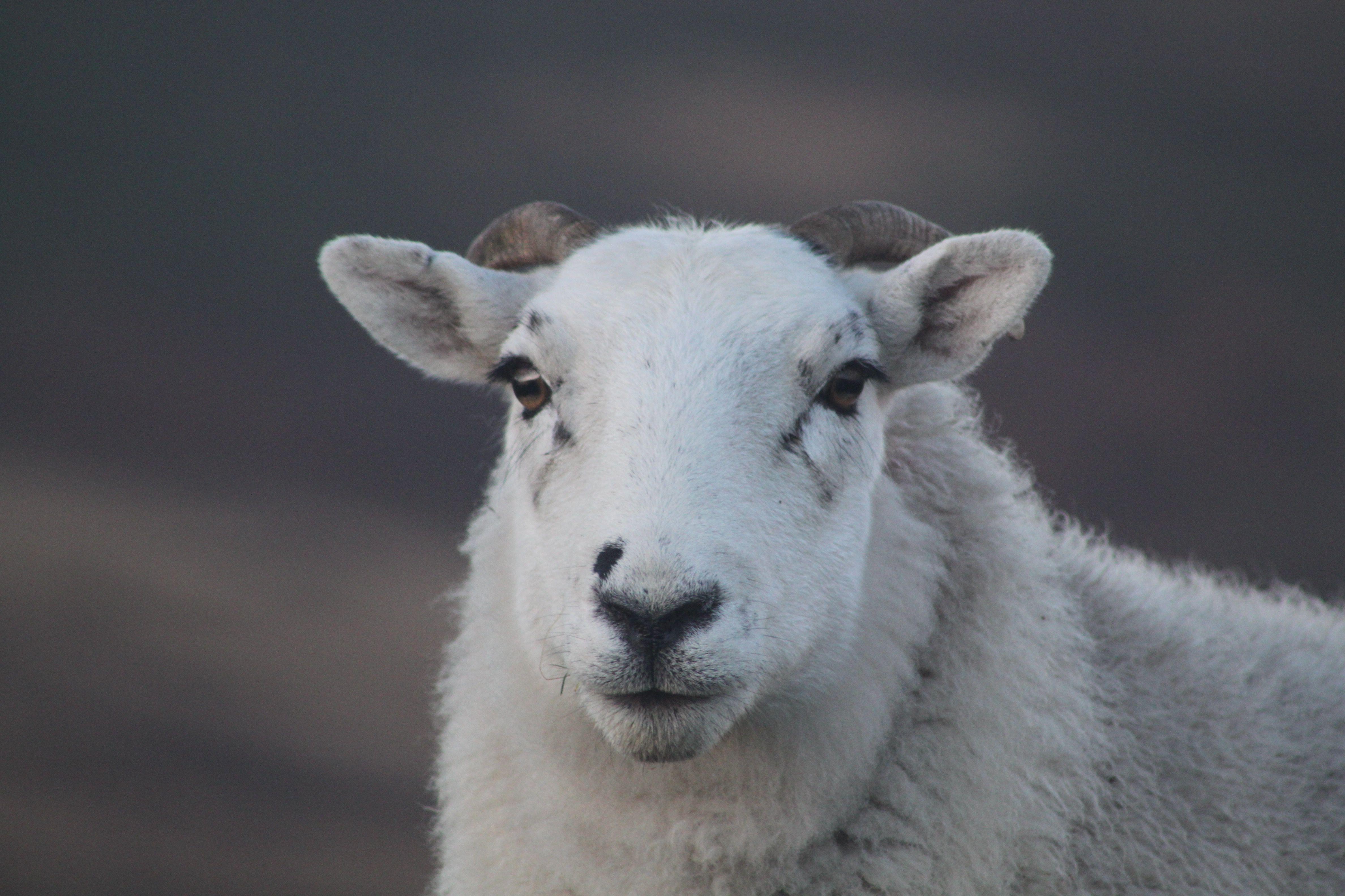 Goat Prince Edward Island