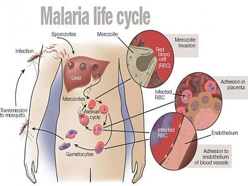 Photo of malaria life cycle of malarial plasmodium parasite mosquito malaria life cycle simple and easy life cycle of plasmodium parasite with diagrams ccuart Images