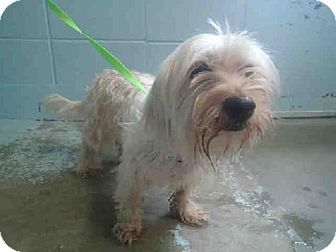 Help Me Quickly Tallahassee Fl Lhasa Apso Maltese Mix Meet Blessing A Puppy Dog For Adoption Dog Adoption Rescue Puppies Pets