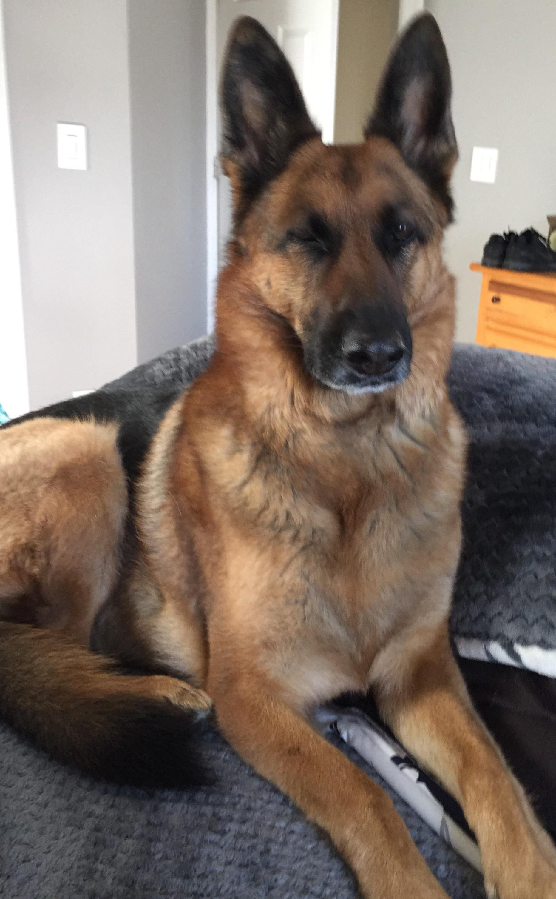 My German Shepard Winking At Me Dogpictures Dogs Aww Cuteanimals Dogsoftwitter Dog Cute German Sheperd Dogs German Shepherd Dogs Shepherd Dog