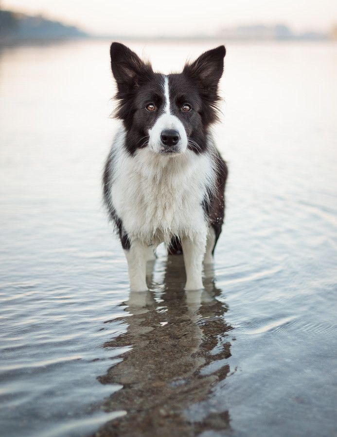 Border collie...such smart dogs! They are so intelligent