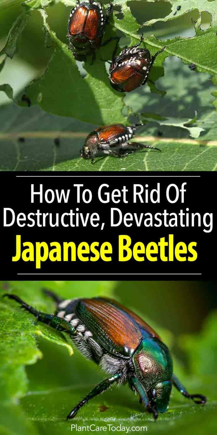 Japanese Beetle: How To Get Rid Of Japanese Beetles