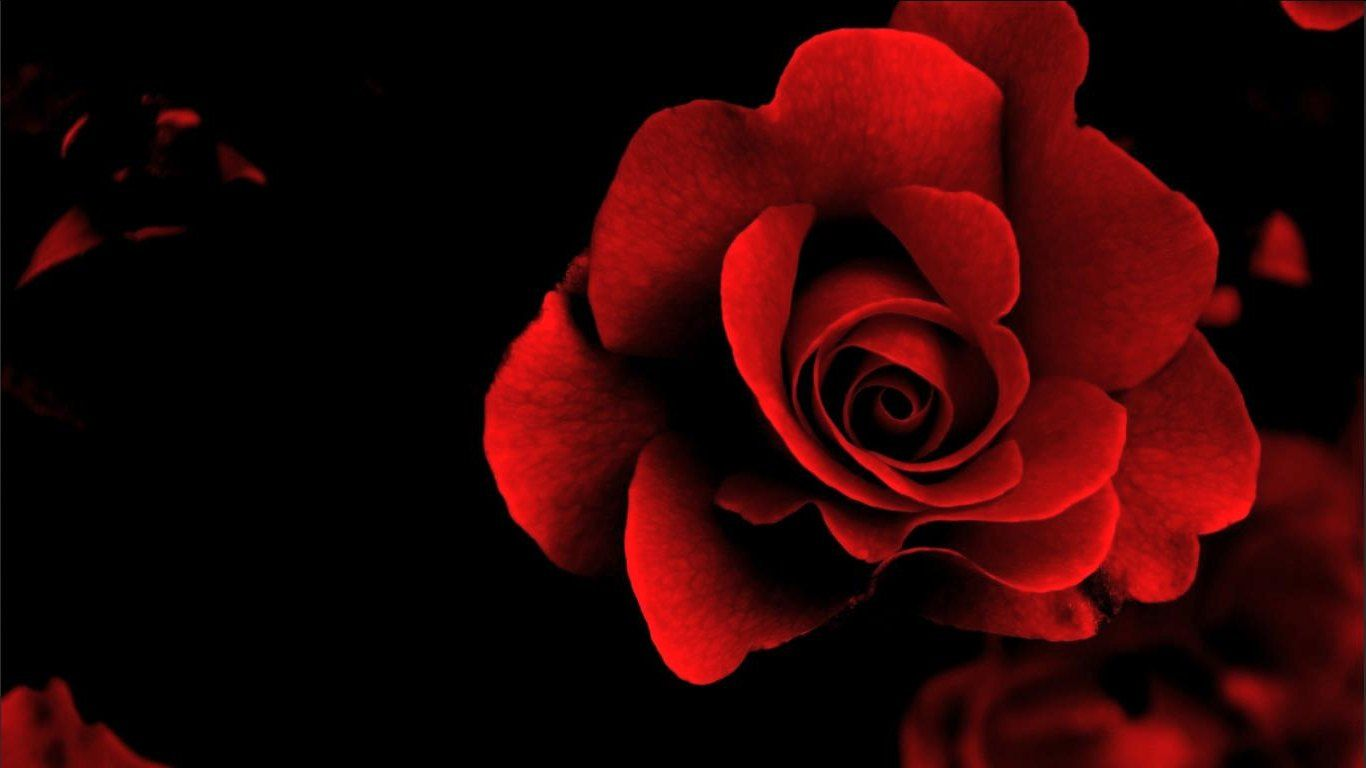 Gambar Bunga Mawar Merah Identity Red Personal Identity
