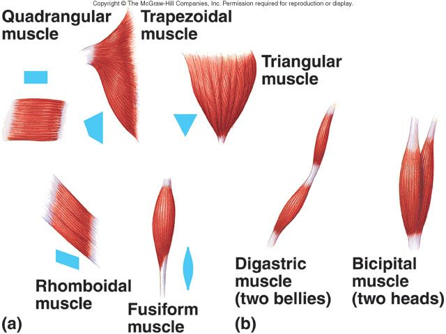 deltoid shape - Google Search | Art & Anatomy | Body ...
