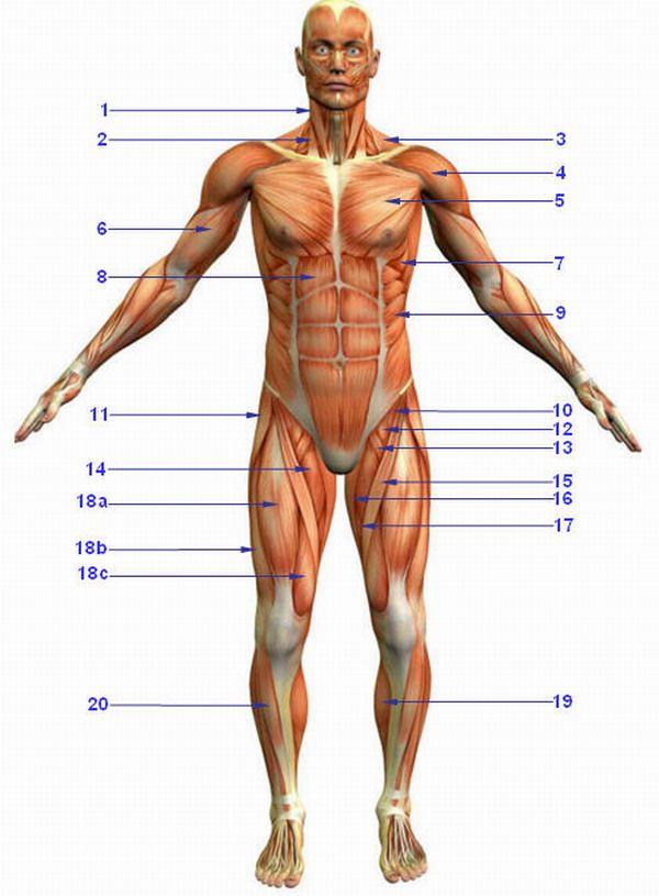 Übersicht Muskulatur Auf dieser Website kann man sich alle ...